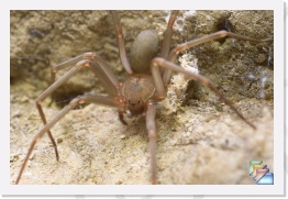 Brown Recluse Spider * Loxosceles spp. * (16 Slides)