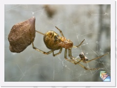 Cob Web Spider * Common House Spider, Achaearanea tepidariorum * (9 Slides)