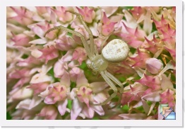 Crab Spider * Thomisidae Spp. * (28 Slides)