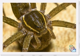 Fishing Spider * Dolomedes Triton * (42 Slides)